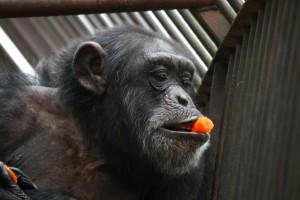 simpanzi1