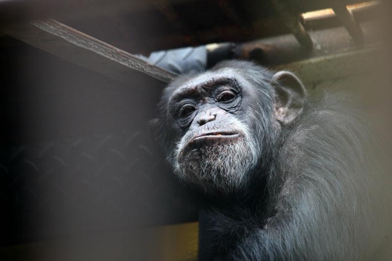 simpanzi2