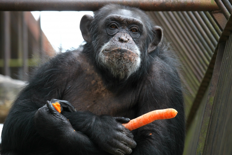simpanzi4
