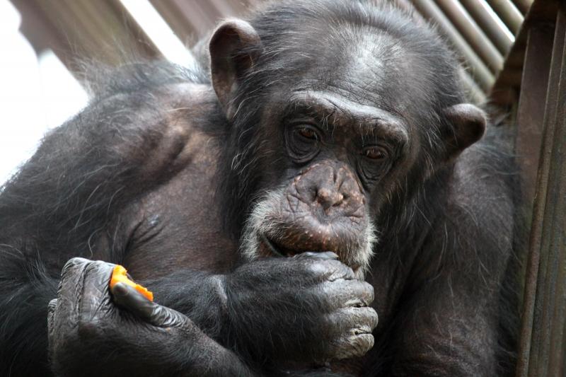 simpanzi6
