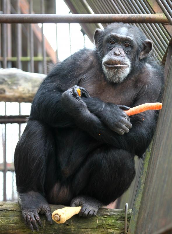 simpanzi8